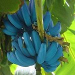 Deberías estar plantando Plátanos Blue Java, porque saben a helado